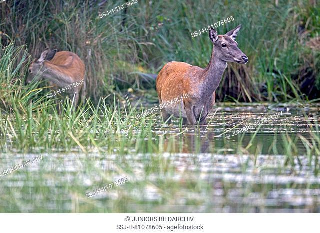 Red Deer (Cervus elaphus). Hind and calf foraging in a pond. Germany