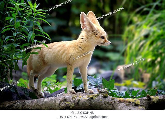Fennec, (Vulpes zerda), adult alert, Africa