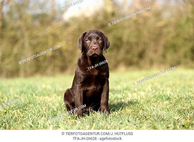 sitting Labrador Retriever Puppy