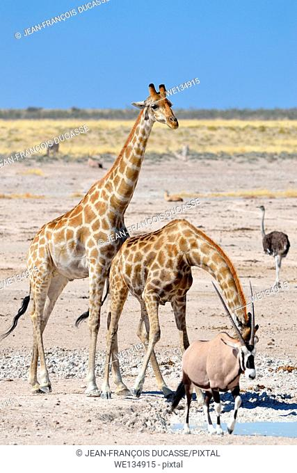 Two Giraffes (Giraffa camelopardalis), drinking at waterhole, and a male gemsbok (Oryx gazella), walking, Etosha National Park, Namibia, Africa