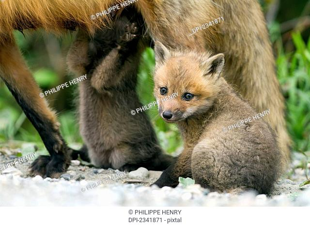 Red fox (Vulpes vulpes) cubs with their mother on a forest road, Gaspesie national park; Quebec, Canada