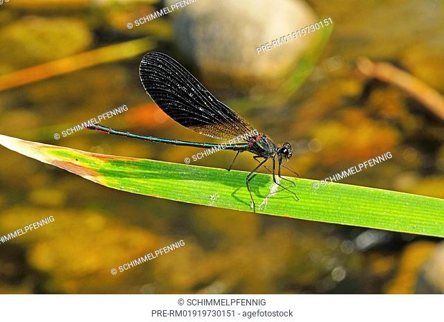 Copper Demoiselle, Calopteryx haemorrhoidalis, male / Bronzene Prachtlibelle, Calopteryx haemorrhoidalis, Männchen