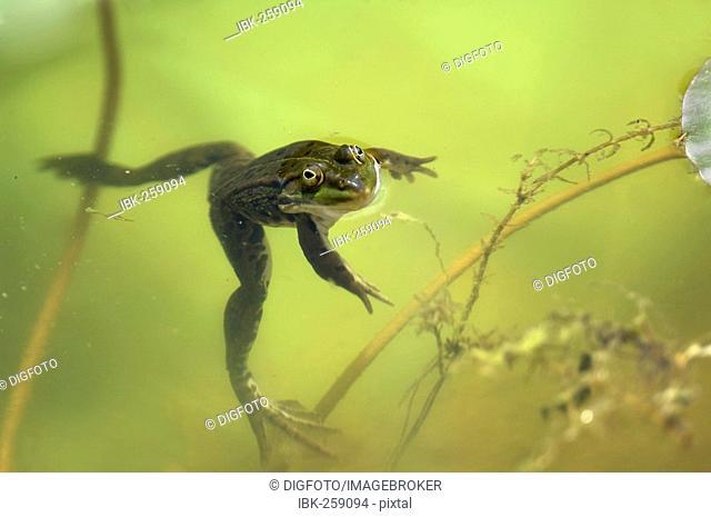 Edible Frog, Common Water Frog, Green Frog (Rana kl. esculenta)