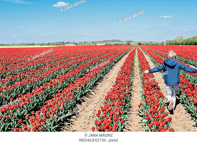 Back view of boy walking on tulip field