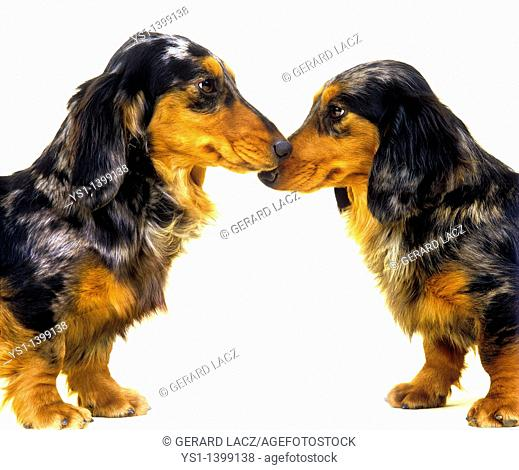 Long-Haired Dachsund, Adults against White Background