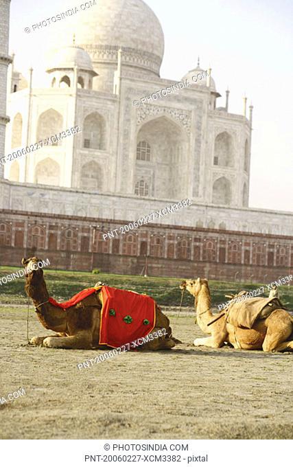 Two camels sitting in front of a mausoleum, Taj Mahal, Agra, Uttar Pradesh, India