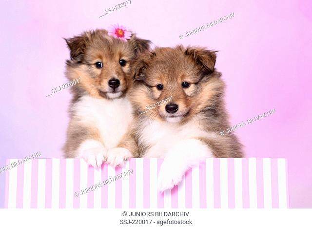 Shetland Sheepdog. Two puppies (6 weeks old) looking out from a red-and-pink striped box. Studio picture against a pink background