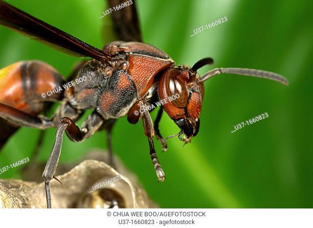 Hornet on its nest