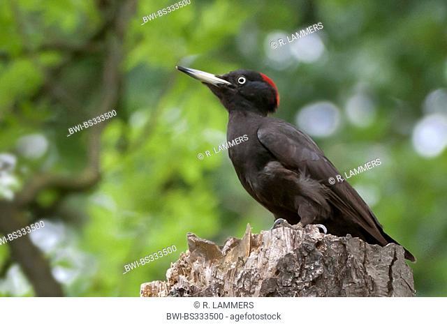 black woodpecker (Dryocopus martius), sitting on a tree snag, Germany, North Rhine-Westphalia