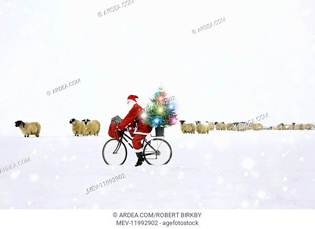 Father Christmas riding bicycle through field of sheep in snow