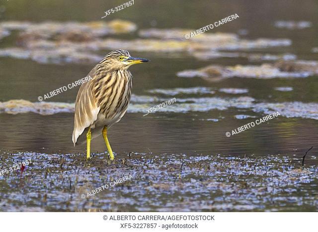 Indian Pond Heron, Ardeola grayii, Wetlands, Royal Bardia National Park, Bardiya National Park, Nepal, Asia