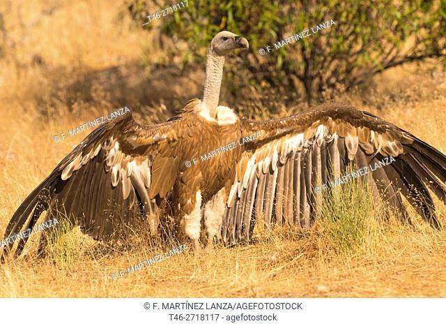 Griffon vulture (Gyps fulvus). Fresnedilla de la Oliva, Madrid Province, Spain