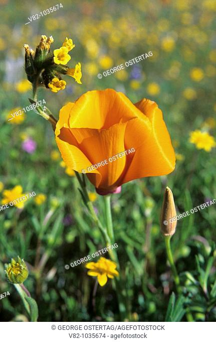 California poppy with fiddleneck, Antelope Valley California Poppy State Reserve, CA