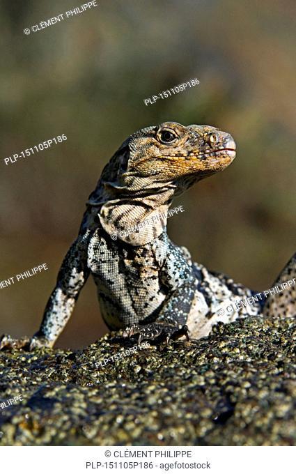 Black spiny-tailed iguana / black iguana / black ctenosaur (Ctenosaura similis) close-up on beach of Manuel Antonio NP, Costa Rica