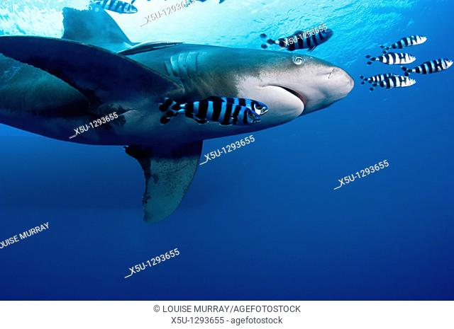 Oceanic White tip shark at Elphinstone reef in Red Sea, Egypt, accompanied by pilot fish  The pilot fish benefit by eating scraps of the shark's food  THis...