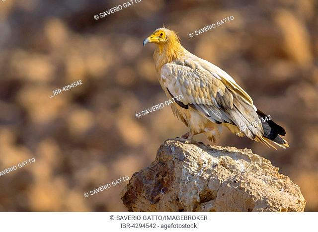 Egyptian Vulture (Neophron percnopterus), adult standing on a rock, Qurayyat, Muscat Governorate, Oman
