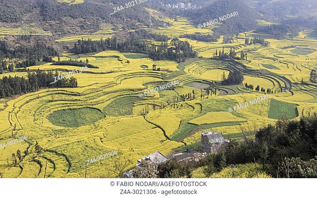 Canola field, rapeseed flower field with morning fog in Luoping, China, near Kunming