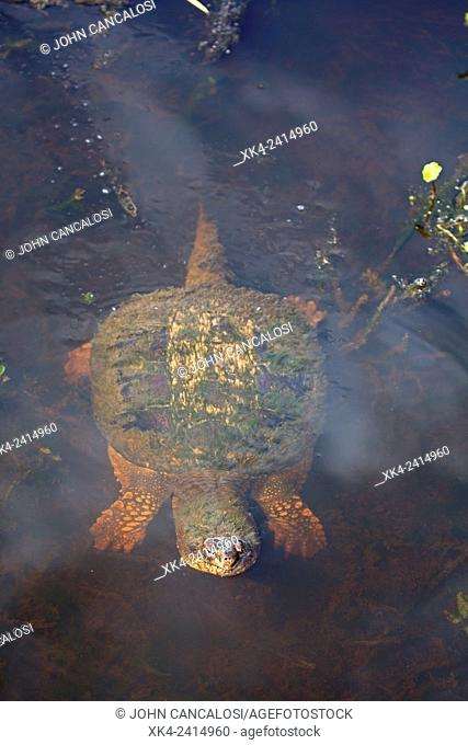 Snapping turtle (Chelydra serpentina), Virginia, USA