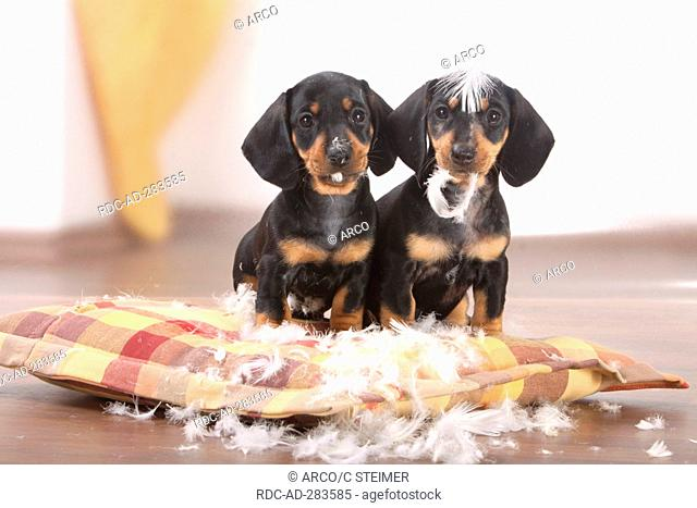 Smooth-haired Dachshund, puppies, black-and-tan / have destroyed cushion, pillow