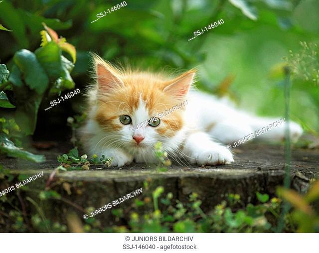 Maine Coon kitten - lying restrictions: Tierratgeber-Bücher / animal guidebooks
