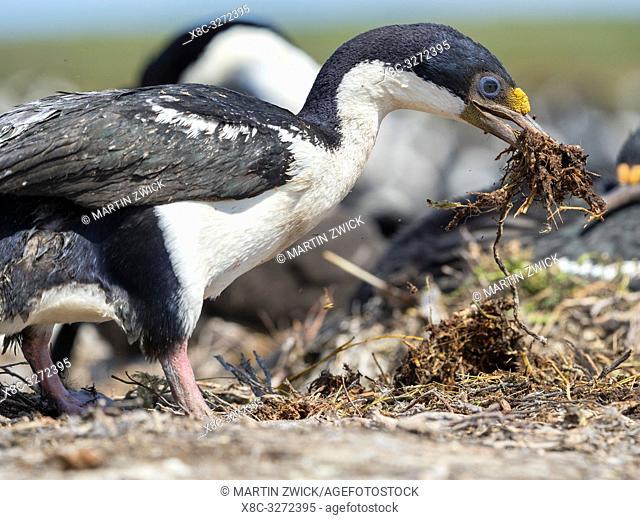 Gathering of nesting material. Imperial Shag also called King Shag, blue-eyed Shag, blue-eyed Cormorant (Phalacrocorax atriceps or Leucarbo atriceps)