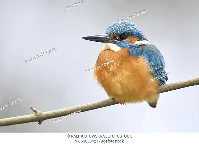 Eurasian Kingfisher (Alcedo atthis), male in winter, resting on a branch, fluffed up to keep warm, wildlife, Germany, Europe