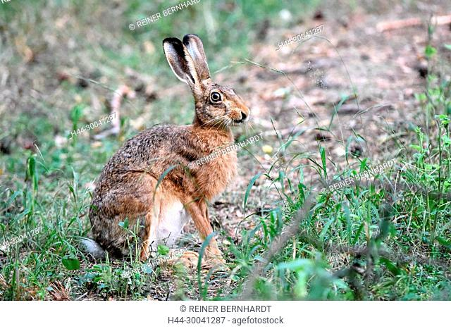 The crooked, field hare, field hare, hare, hare, bunny, Lepus europaeus Pallas, Mümmelmann, rodent, rodent, nature, forest hare, game, wild animal