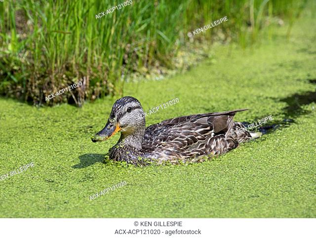A female Mallard duck swimming through a thick coating of Duckweed