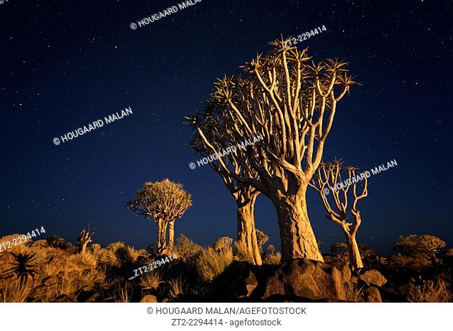 Landscape photo of quiver trees below an early night sky. Quiver Tree Forest, Keetmanshoop, Namibia