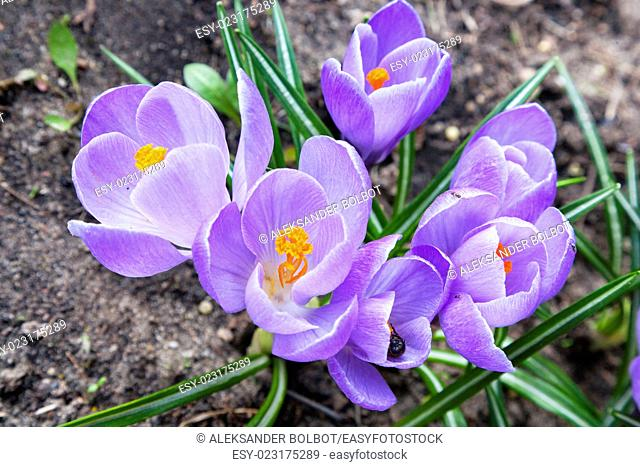 Bunch of violet crocus flowers closeup, Poland, Europe