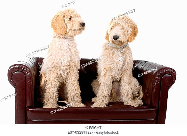 two australian labradoodle dogs isolated on a white background