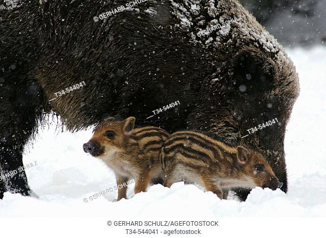 Wild Piglets. Sus scrofa. Schleswig-Holstein, Germany