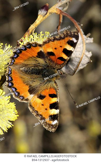 Small Tortoiseshell (Aglais urticae, fam. Nymphalidae) butterfly. Osseja, Pyrenees-Orientales, Languedoc-Roussillon, France