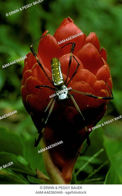 Golden Orb Spider on Ginger blossom, Female larger than male, Costa Rica