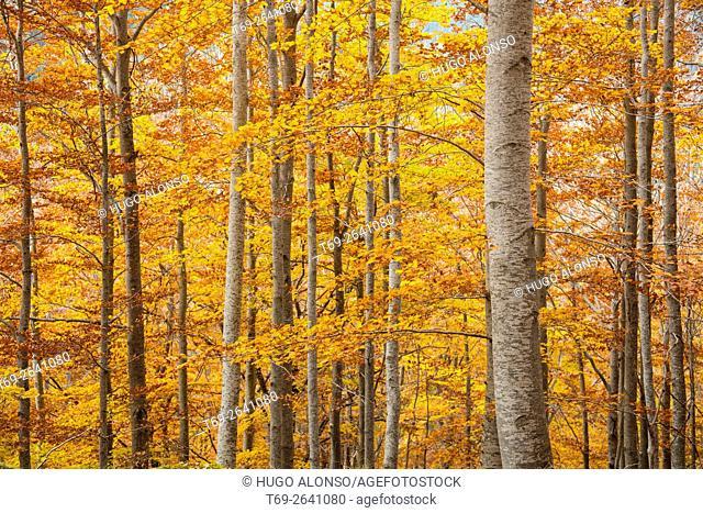 Autumn colors. Ordesa and Monte Perdido National Park