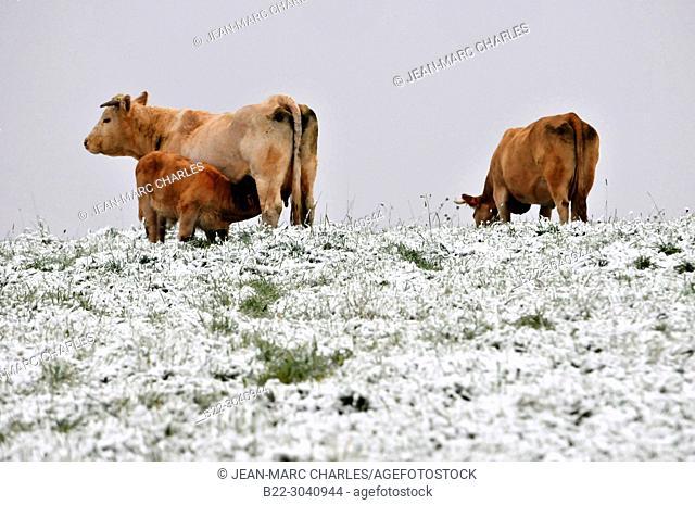 Cattle in the snow, Campuac, North Aveyron, Midi-Pyrénées, Occitanie, France