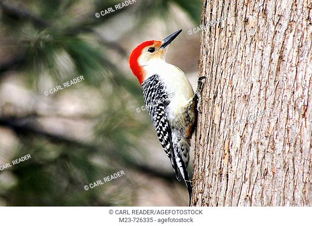 A redbellied woodpecker (Melanerpes carolinus) pauses as he climbs the trunk of a tree, Pennsylvania, USA