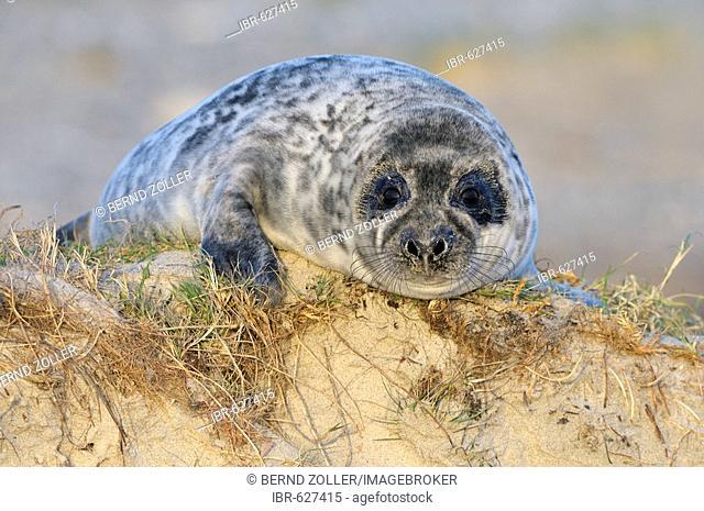 Grey Seal (Halichoerus grypus) weaned pup, Helgoland Island, Schleswig-Holstein, Germany, Europe
