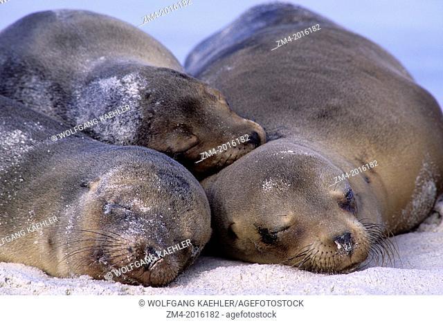 ECUADOR, GALAPAGOS ISLANDS, HOOD ISLAND (ESPANOLA ISLAND), GARDNER BAY, GALAPAGOS SEA LIONS SLEEPING ON BEACH