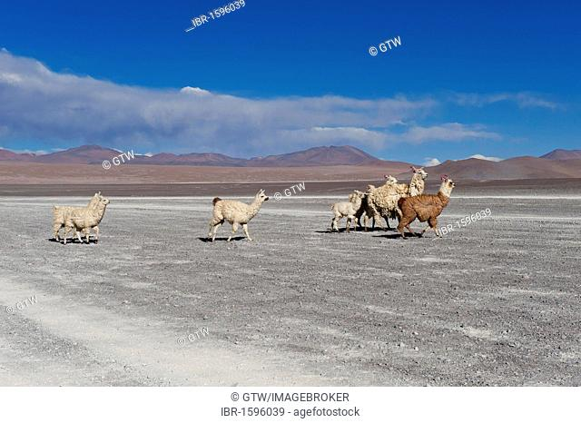 Llamas (Lama glama), Salar de Uyuni, Potosí, Bolivia, South America
