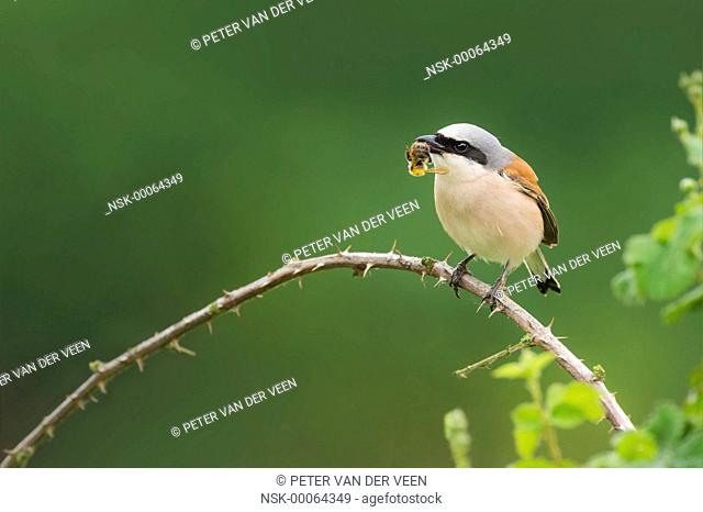 Red-backed Shrike (Lanius collurio) male perched on branch with prey, The Netherlands