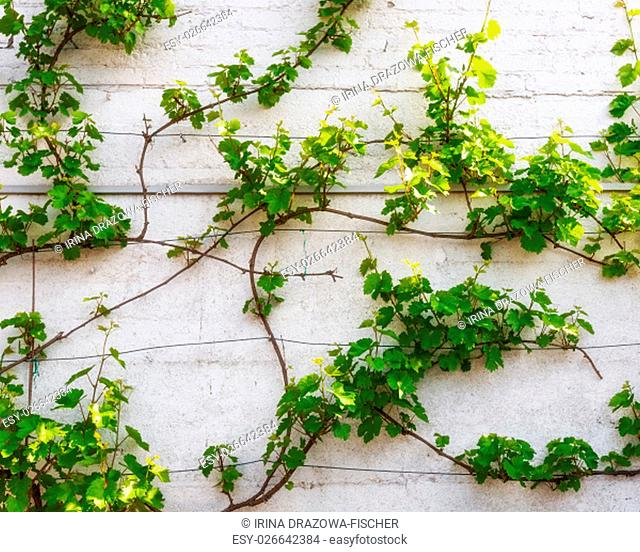 Green grape leaves. Grapevine on white wall in springtime. Floral background