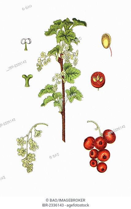 Red currant (Ribes rubrum), medicinal plant, historical chromolithography, around 1796