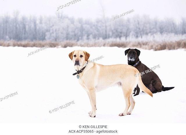 Two Labrador Retrievers on a snowy winter day. Assiniboine Forest, Winnipeg, Manitoba, Canada