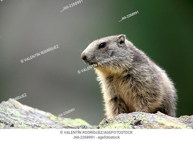 Whistler (Marmota marmota), National park Gran Paradiso, Italy