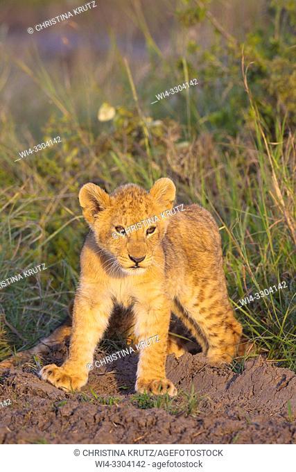 African Lion cub, Masai Mara National Reserve, Kenya, East Africa