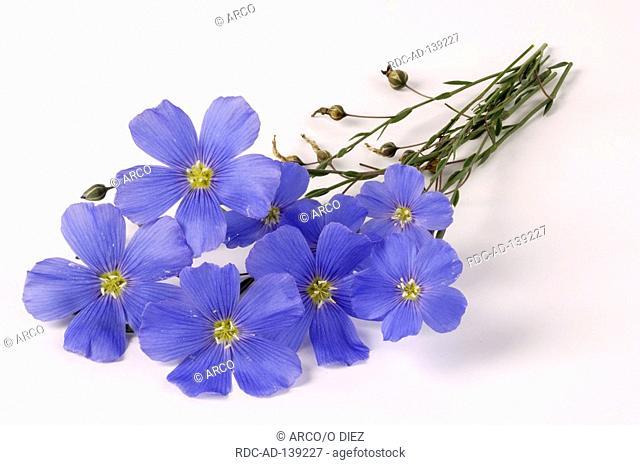 Blue Flax Linum perenne Perennial Flax