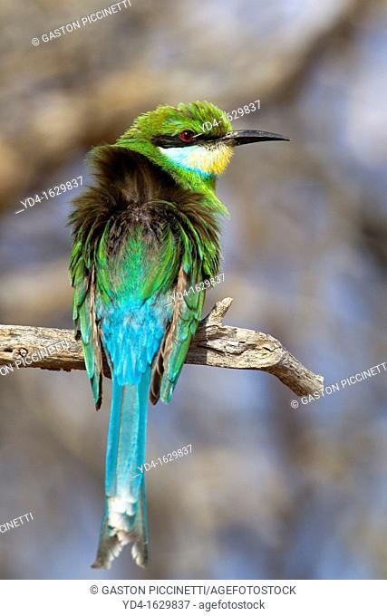Swallowtailed Bee-Eater Merops hirundineus, Kgalagadi Transfrontier Park, Kalahari desert, South Africa