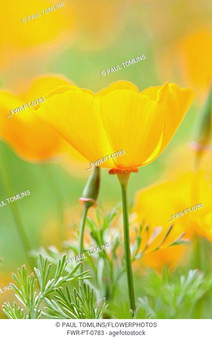 Californian poppy, Eschscholzia californica