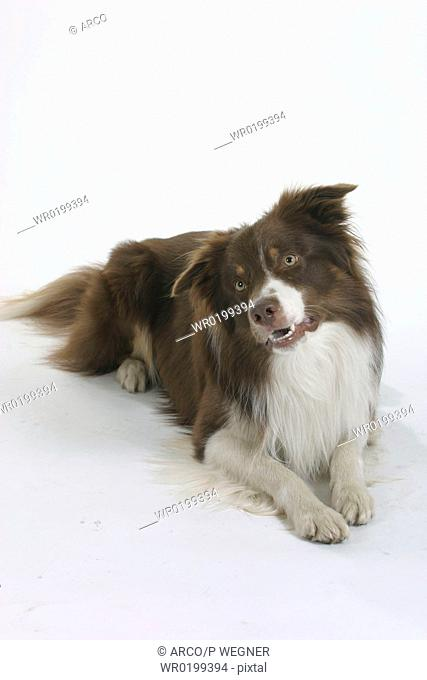 Border, Collie